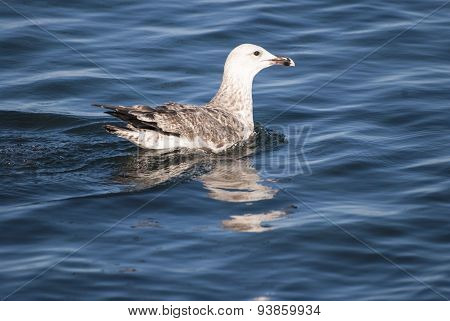 Black Sea Gull On The Water