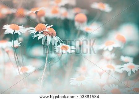 Daisy flower - chamomile (wild chamomile)