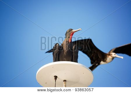 Pair Of Frigatebirds