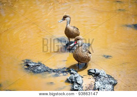 Two White Cheeked Pintails