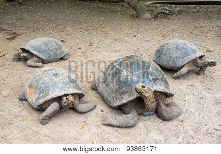 Four Giant Tortoises