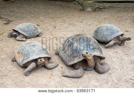 Four Giant Tortoises