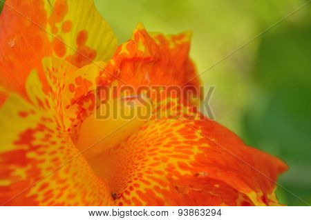 Canna Lily Background, Orange Yellow And Green