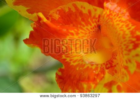 Bright Orange And Yellow Canna Lily Flower