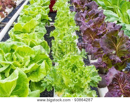 Fresh Hydrophonic Vegetable