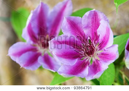 Beautiful Pink Clematis Flower Close-up