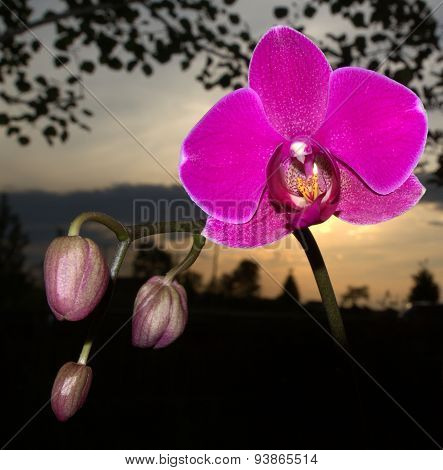 Magenta Orchid against a sunset
