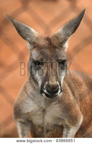 Red kangaroo (Macropus rufus) behind the cage. Wildlife animal.