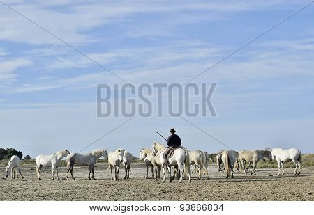 The rider on a horse and White Camargue Horses