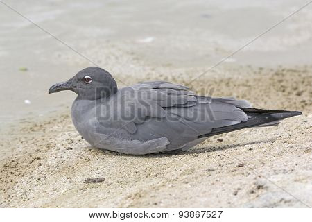 Lava Gull On A Ocean Beach