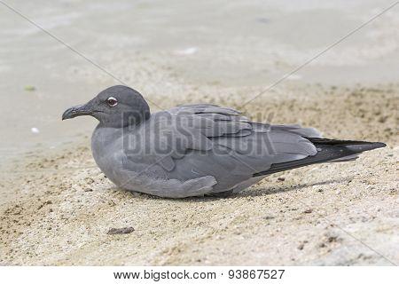 Lava Gull On A Ocean Beach