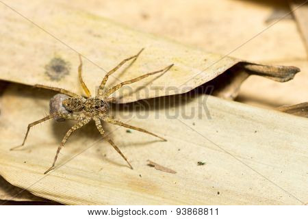Close up of a kind of spider on the ground covered by dry leaves.