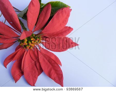 Poinsettia Flower On White Background Diffused Light