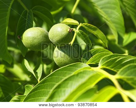 Green Fruits Of Walnut On A Branch