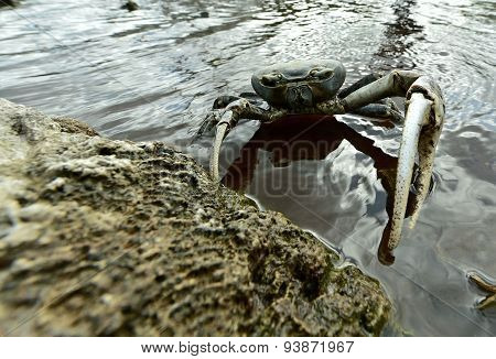 Blue Land Crab (Cardisoma Guanhumi) Mangrove Land Crab likely to be Cardisoma guanhumi