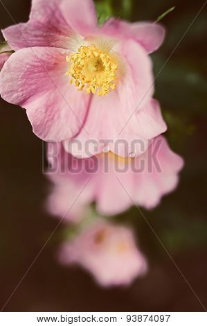 Pink Flowers Of A Wild Rose