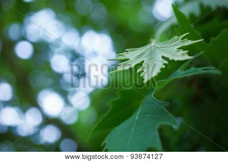 Green Sycamore Leaves