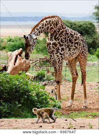 Giraffe And Monkeys.