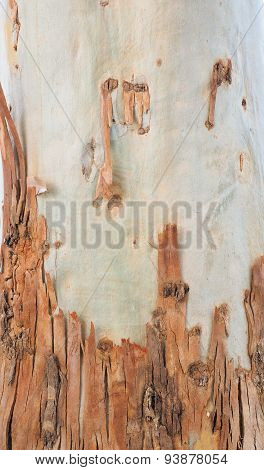 Smooth  Gum tree skin after bark peeling