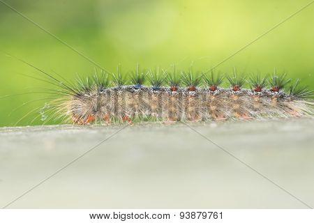 Tent Caterpillar