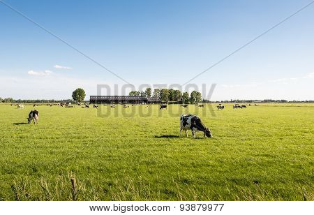 Peacefully Grazing Cows In A Large Meadow