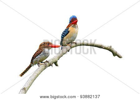 Banded Kingfisher Birds