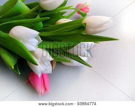 White And Pink Tulips Isolated Over White With  Copy Space