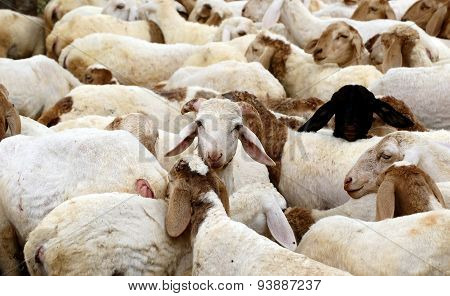Closely packed herd of sheeps