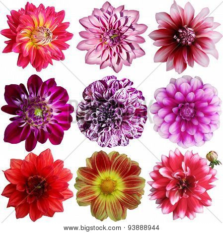 Set Of Different Dahlias Isolated On White Background