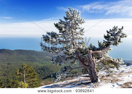 Panorama View From Ai-petri Mountain. Snow And Iced Pine Trees On Sunny Winter Day. Crimea.