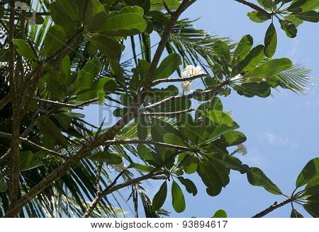 White Frangipani flowers growing naturally