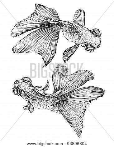 Goldfish vector watercolor illustration. Isolated on white