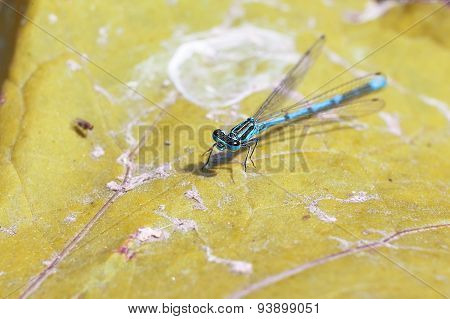 Scarce Blue Tailed Damselfly On The Yellow Leaf
