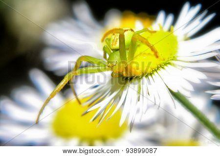 green spider on a white flower