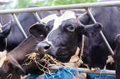 pic of dairy barn  - cows in a farm Dairy cows eating in a farm location Thailand - JPG