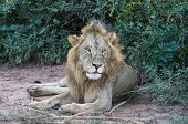 pic of african lion  - African Lion resting at the Murchison Falls National Park in Uganda - JPG