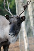 picture of antlers  - Reindeer male with antler velvet peeling straw on ground  - JPG