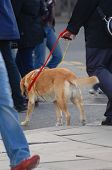 stock photo of seeing eye dog  - guide dog for the blind dublin city commuters