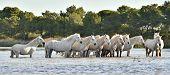 stock photo of wild horse running  - Herd of White Horses Running and splashing through water - JPG