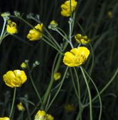 foto of buttercup  - Buttercups Close Up in the forest with somewhat black background - JPG