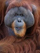 stock photo of orangutan  - Close up portrait of adult male orangutan - JPG