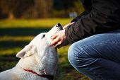 image of husky  - The love between young man and his white siberian husky - JPG