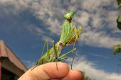 pic of creepy crawlies  - green praying mantis close up  - JPG
