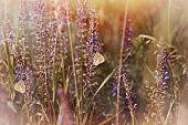 picture of meadows  - Butterflies on purple meadow flowers in meadow - JPG