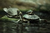 stock photo of terrapin turtle  - Southern river terrapin  - JPG
