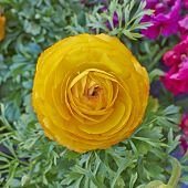 stock photo of buttercup  - orange buttercup flower close up natural background - JPG