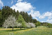 stock photo of row trees  - Several blooming apple trees in a diagonal row of fruit trees amidst a blossoming spring meadow in rural landscape - JPG