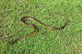picture of pampas grass  - Green anaconda  - JPG