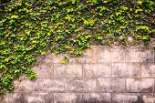 pic of ivy  - Close up ivy or green plant grows on the wall - JPG
