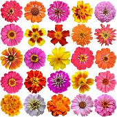 picture of marigold  - Big Set of the french marigolds isolated on white - JPG
